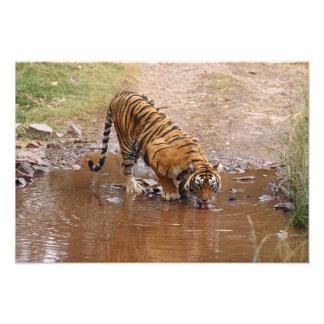Royal Bengal Tiger drinking water at the Photo Art