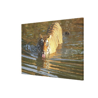 Royal Bengal Tiger drinking water, Ranthambhor Gallery Wrapped Canvas
