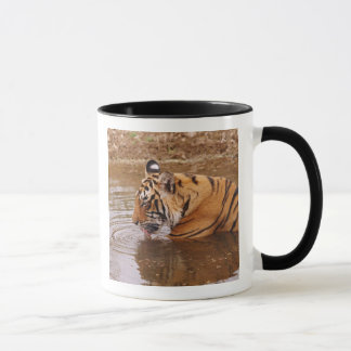Royal Bengal Tiger drnking water in the jungle