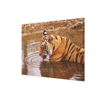 Royal Bengal Tiger drnking water in the jungle Canvas Print
