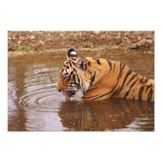 Royal Bengal Tiger drnking water in the jungle Photo Print