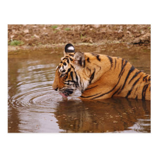 Royal Bengal Tiger drnking water in the jungle Postcard