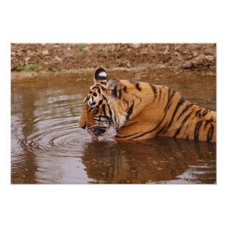 Royal Bengal Tiger drnking water in the jungle Poster