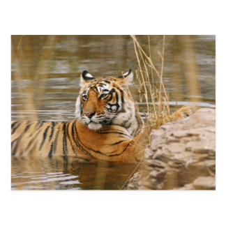 Royal Bengal Tiger in the forest pond, Postcard