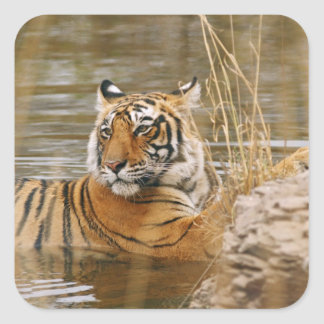 Royal Bengal Tiger in the forest pond, Square Sticker