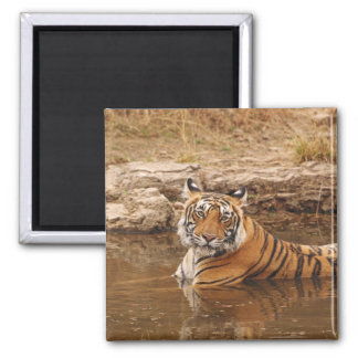 Royal Bengal Tiger in the jungle pond, 2 Magnet