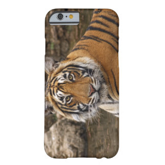 Royal Bengal Tiger in the jungle pond, Barely There iPhone 6 Case