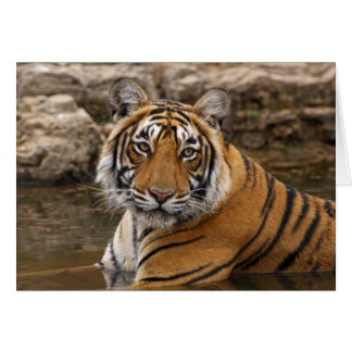 Royal Bengal Tiger in the jungle pond, Card