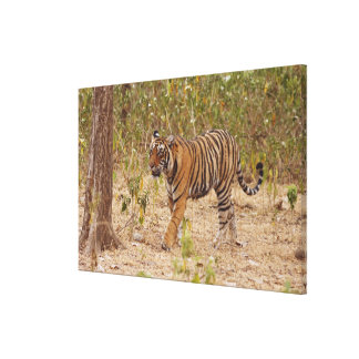 Royal Bengal Tiger moving around the bush, Gallery Wrap Canvas