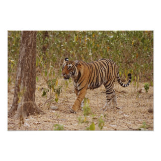 Royal Bengal Tiger moving around the bush, Poster