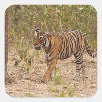 Royal Bengal Tiger moving around the bush, Square Sticker