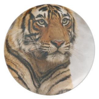 Royal Bengal Tiger on the rock, Ranthambhor Dinner Plates