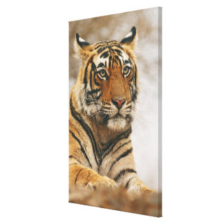 Royal Bengal Tiger on the rock, Ranthambhor Gallery Wrapped Canvas