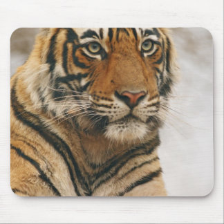 Royal Bengal Tiger on the rock, Ranthambhor Mouse Pad