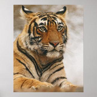 Royal Bengal Tiger on the rock, Ranthambhor Poster