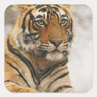 Royal Bengal Tiger on the rock, Ranthambhor Square Sticker