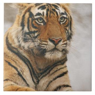 Royal Bengal Tiger on the rock, Ranthambhor Large Square Tile