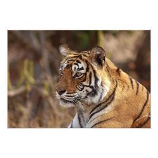 Royal Bengal Tiger, Ranthambhor National Park, 2 Photo Print