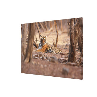 Royal Bengal Tiger, Ranthambhor National Park, Canvas Print