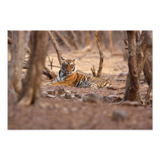 Royal Bengal Tiger, Ranthambhor National Park, Photo Print