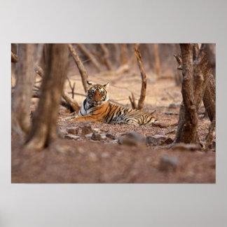 Royal Bengal Tiger, Ranthambhor National Park, Poster