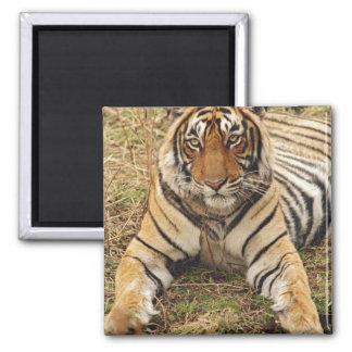 Royal Bengal Tiger, Ranthambhor National Park, Square Magnet
