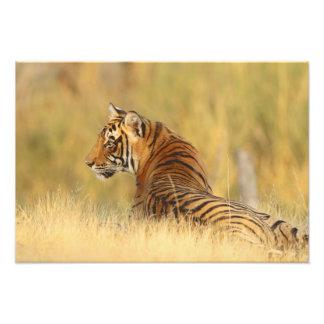 Royal Bengal Tiger sitting outside grassland, 2 Photo Art