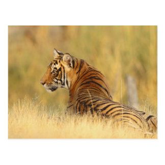 Royal Bengal Tiger sitting outside grassland, 2 Postcard