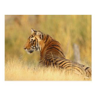 Royal Bengal Tiger sitting outside grassland, 2 Postcard