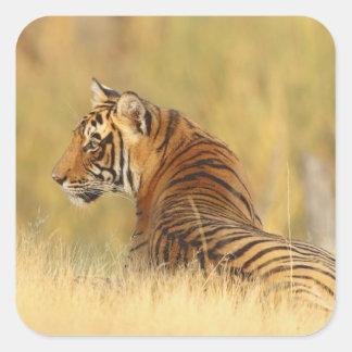 Royal Bengal Tiger sitting outside grassland, 2 Square Sticker