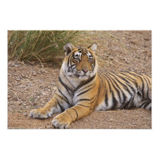 Royal Bengal Tiger sitting outside grassland, 3 Photographic Print