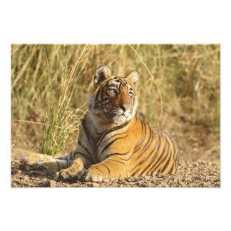 Royal Bengal Tiger sitting outside grassland, Photo Art