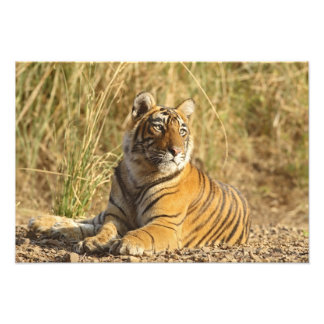 Royal Bengal Tiger sitting outside grassland Photograph