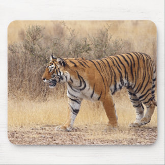 Royal Bengal Tiger walking around dry Mouse Mat