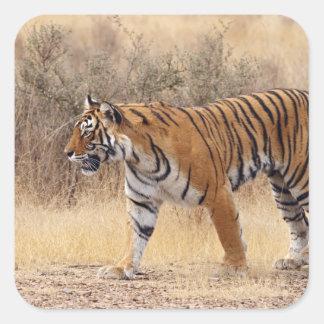 Royal Bengal Tiger walking around dry Square Sticker