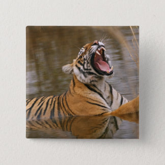 Royal Bengal Tiger yawning in the jungle pond, 15 Cm Square Badge