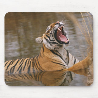 Royal Bengal Tiger yawning in the jungle pond, Mouse Pad