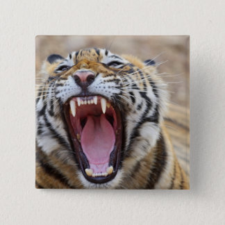 Royal Bengal Tiger yawning; Ranthambhor 15 Cm Square Badge