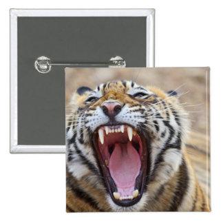 Royal Bengal Tiger yawning; Ranthambhor 15 Cm Square Badge