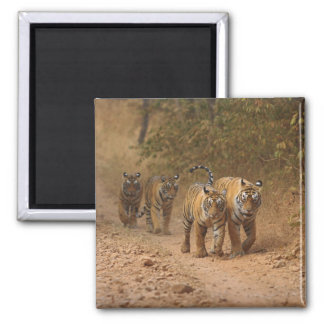 Royal Bengal Tigers on the move, Ranthambhor Square Magnet