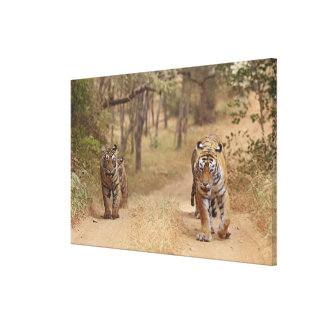 Royal Bengal Tigers on the track, Ranthambhor 2 Canvas Print