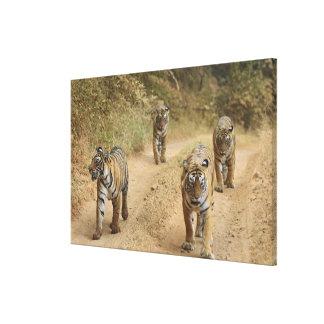 Royal Bengal Tigers on the track, Ranthambhor 3 Canvas Print