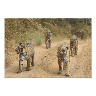 Royal Bengal Tigers on the track, Ranthambhor 4 Photo Art