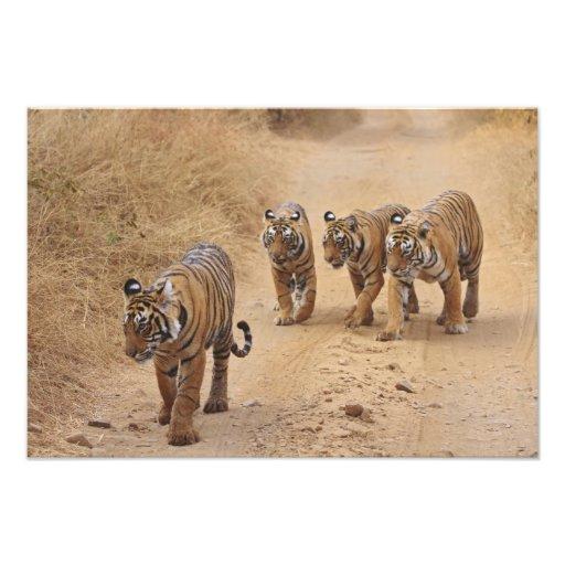 Royal Bengal Tigers on the track, Ranthambhor 7 Photograph