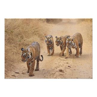 Royal Bengal Tigers on the track, Ranthambhor 7 Photographic Print