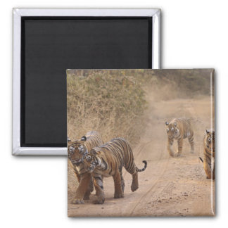 Royal Bengal Tigers on the track, Ranthambhor 7 Square Magnet
