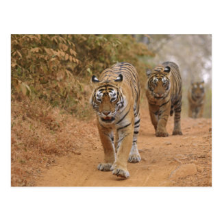 Royal Bengal Tigers walking along the track, Postcard