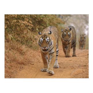 Royal Bengal Tigers walking along the track, Postcard