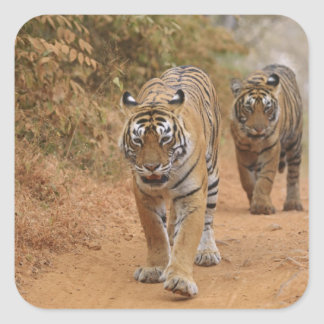 Royal Bengal Tigers walking along the track, Square Sticker