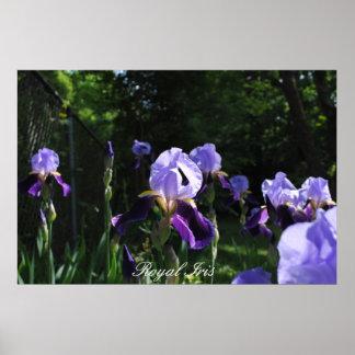 Royal Iris Posters